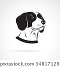 Vector of a beagle dog head on a white background. 34817129