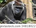 動物 類人猿 猭 34818022