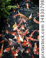 연못의 비단 잉어 34830798