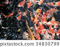 锦鲤 鲤鱼 鱼 34830799