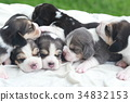 pure breed beagle Puppy on gray screen 34832153