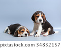 pure breed beagle Puppy on gray screen 34832157
