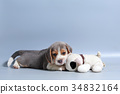 pure breed beagle Puppy on gray screen 34832164