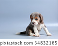 pure breed beagle Puppy on gray screen 34832165