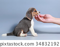 pure breed beagle Puppy on gray screen 34832192