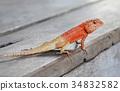 Thailand chameleon 34832582