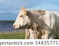 White cow head portrait 34835775