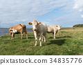 Cattle by seaside 34835776