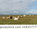 Peaceful view of resting cattle 34835777