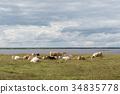 Herd of resting cattle by seaside 34835778