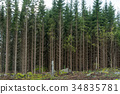 Growing spruce tree forest 34835781