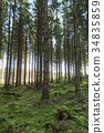 Tall spruce trees in a mossy forest 34835859