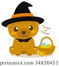 玩具狗 貴賓狗 玩具貴賓 34836453