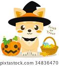 chihuahua, dog, dogs 34836470