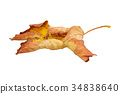 An old dry maple leaf on a white background 34838640