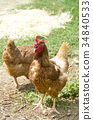 chicken, chickens, bird 34840533
