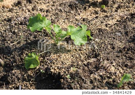 Autumn vegetables in the kitchen garden 34841429