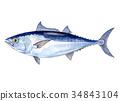 东方蓝鳍鲔 蓝鳍金枪鱼 黑鲔鱼 34843104