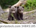 bear, animal, wildlife 34845185