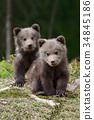 bear, animal, wildlife 34845186