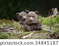 bear, animal, wildlife 34845187