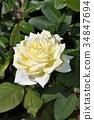 꽃, 플라워, 장미 34847694