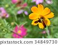 大波斯菊 花朵 花 34849730