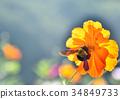大波斯菊 花朵 花 34849733