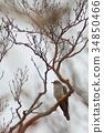 cuckoo, wild bird, bird 34850466