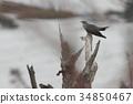 cuckoo, wild bird, mountain trail 34850467