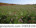 cosmos, cosmea, observation 34858106