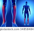 3D illustration of Fibula, medical concept. 34858484