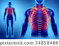 3D illustration of Ribs, medical concept. 34858486