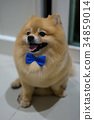 pomeranian dog cute pets short hair style in home, 34859014