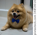 pomeranian dog cute pets short hair style in home, 34859016