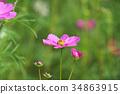 ดอกไม้,คอสมอส,ฤดูใบไม้ร่วง 34863915