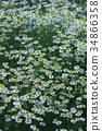 """카모마일 꽃말은 """"화해"""" 34866358"""