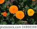 marigold, bloom, blossom 34866388
