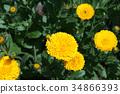 marigold, bloom, blossom 34866393