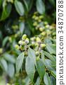 떡갈 나무 도토리 34870788