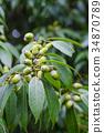 떡갈 나무 도토리 34870789
