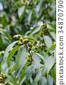 떡갈 나무 도토리 34870790