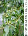 떡갈 나무 도토리 34870791