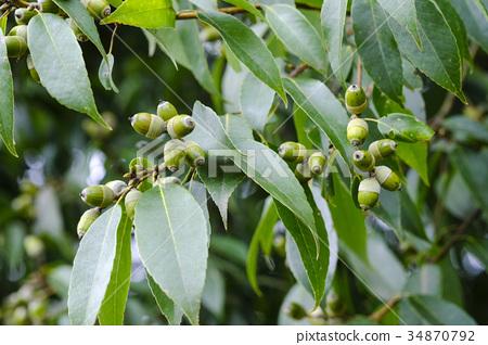떡갈 나무 도토리 34870792