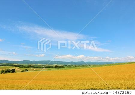 北海道美瑛的一塊巨大的麥田 34872169