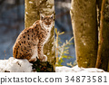Lynx portrait on the snow background 34873581