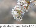 spring sakura pink flower 34874273