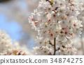 spring sakura pink flower 34874275