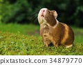 Guinea pig sniffing 34879770