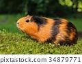 Motley guinea pig 34879771